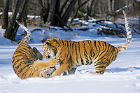Siberian Tigers wrestling in snow.