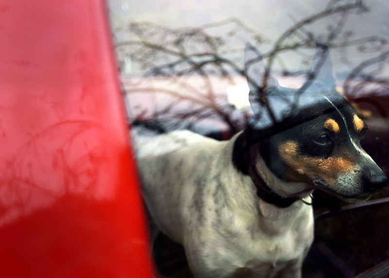 The Arrington's rat terrier, Rosco, spends his days catching rats in the family's orchard, but today he finds himself locked in the truck after crawling underneath the bulldozer.