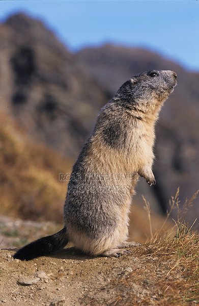 Alpine Marmot, Marmota marmota, adult standing up calling, Saas Fee, Switzerland, September 2003