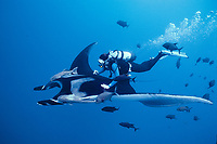 Manta ray and scuba diver, Isla San Benedicto, Manta birostris, Mexico, East Pacific Ocean