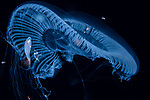 Aequorea forskalia jellyfish w fish