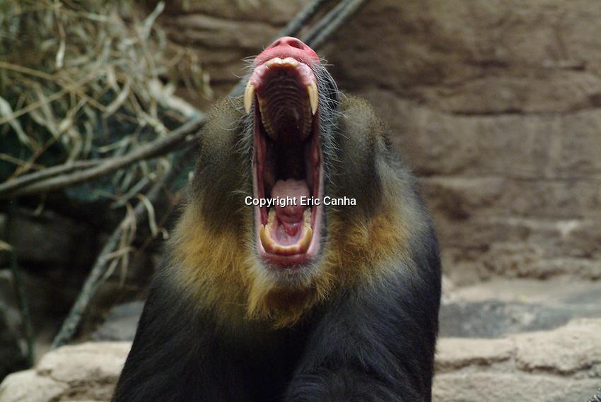 A baboon yawns