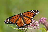 03536-048.10 Monarch Butterfly (Danaus plexippus) male on Swamp Milkweed (Asclepias incarnata) Marion Co., IL