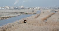 Nederland Zaanse Schans. 2017-01-18 .  Winter in Zaanse Schans.  Rijp op hert riet in de Kalverpolder. In de verte staan o.a. cacao fabrieken. Foto Berlinda van Dam / Hollandse Hoogte