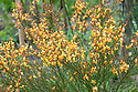 Cytisus scoparius 'Apricot Gem', early May. A compact, semi-evergreen Broom with small, apricot to orange-yellow, pea-like flowers in late spring and early summer.