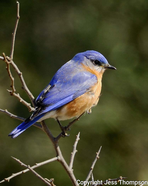Eastern Bluebird image from a ranch near Burnet, TX