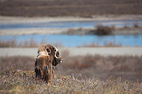 Bull muskox with shedding qiviut (fur) stands on the summer tundra on Alaska's Arctic North Slope, Sag river in the distance.