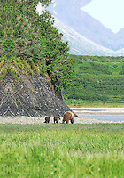 A mother and two baby brown bears amble along a bluff in Alaska's McNeil River State Game Sanctuary.