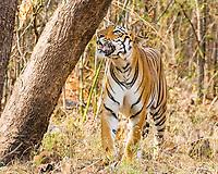 Bengal tiger, Panthera tigris tigris, marking its territory, Tadoba Andhari Tiger Reserve, Tadoba Andhari National Park, Chandrapur, Maharashtra, India