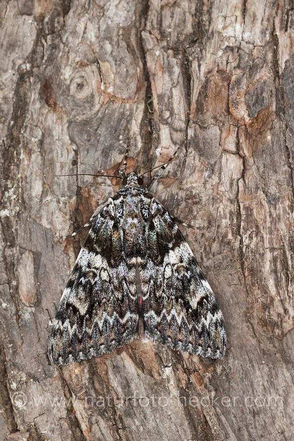Kleines Eichenkarmin, Kleiner Eichenkarmin, Catocala promissa, light crimson underwing, la Promise, Eulenfalter, Noctuidae, noctuid moths, noctuid moth