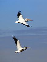 White Pelicans fly under a blue Florida sky in Merritt Island, FL. (Photo by Brian Cleary/ www.bcpix.com )