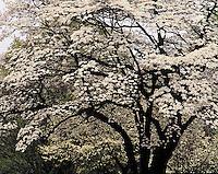 Flowering Dogwood tree in spring, Cornus florida,.Louisville, Kentucky