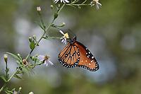 Queen (Danaus gilippus), adult feeding on , Hill Country, Central Texas, USA