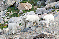 Rocky Mountain Goat Kids
