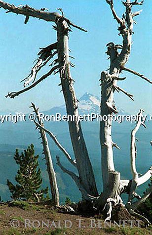 Mt Rainer from old rugged tree Mt Hood Oregon,