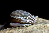 1R11-014f  Banded Gecko - sleeping, close-up of head, found in southwest deserts - Coleonyx variegatus
