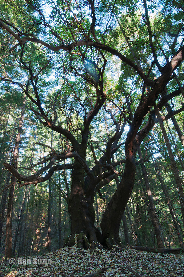 Pacific madrone, Arbutus menziesii. Mendocino County, California