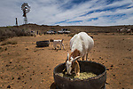 Domestic Goat (Capra hircus) female feeding on supplemental feed, while farmer and conservationist, Piet Marais, and farm workers repair windmill, De Aar, Nama Karoo, Great Karoo, South Africa