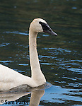 Trumpeter swan. National Elk Refuge, Wyoming.