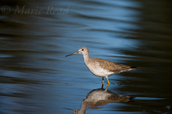 Greater Yellowlegs (Tringa melanoleuca), non-breeding plumage,   Huntington Beach, California, USA