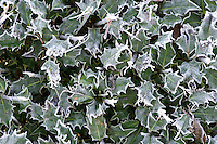 Frost on Holly hedge, Lancashire.