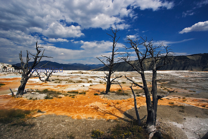 Stark dead trees atop Canary Spring, Yellowstone National Park, Wyoming, USA.<br />