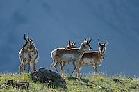 Pronghorn Antelope (Antiloapra americana) bucks.  Western U.S., June.