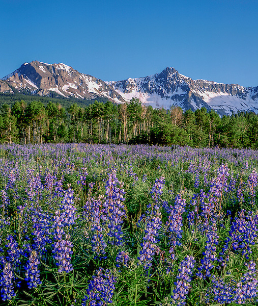 Lupine wildflowers and the Sneffels Range, Telluride, Colorado. John guides custom photo tours in the Sneffels Range and throughout Colorado.