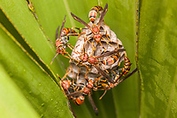 Paper Wasps (Polistes exclamans) guard larvae and pupae in the chambers of their nest hanging from a Saw Palmetto frond.