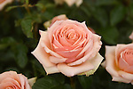 "The new roses named the ""Lynda Bellingham Rose"" At the RHS Hampton Court Flower show, London 29.6.15"