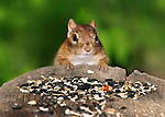 A Very Cute Eastern Chipmunk Preparing To Dine On Bird Seed, Tamias striatus