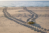 Australian flatback sea turtle, Natator depressus, female climbs beach in order to nest, leaving tractor-like tracks behind her, Crab Island, off Cape York Peninsula, Torres Strait, Queensland, Australia