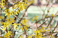 Delicate bright yellow Forsythia flowers branch - Free Stock Photo.