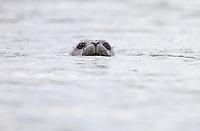 Peeking Harbor Seal #W47