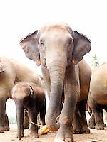 Indian elephant troop at Pinnawela Elephant Orphanage, Kegalle, Sri Lanka