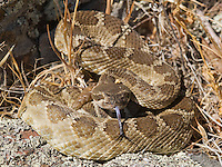 "Northern Pacific rattlesnake, Crotalus viridis oreganus, in a defensive posture, flicks out its tongue to ""taste"" the air with its Jacobson's organ. Mount Diablo State Park, California"