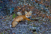 Red Fox (Vulpes vulpes) resting.  Yukon/British Columbia border.  Sept.