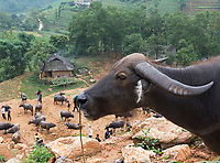 The Buffalo Market - Ethnic minority Hill tribes, the Flower Hmong and Black Hmong from Northern Vietnam near the Chinese Border at Lao Cai, Bac Ha and Can Cau.