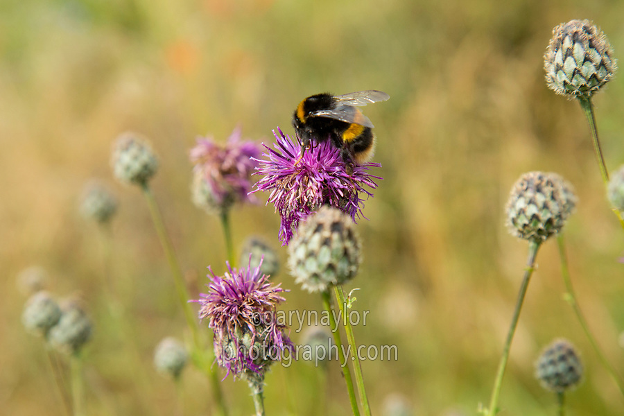 Bumble Bee on wild flowers - Norfolk, July