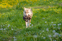 Gray wolf (Canis lupus) with young animal in mouth, Hesse, Germany, Europe