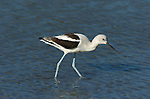 American Avocet, Winter Plumage,  Newport Back Bay, California