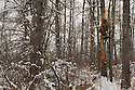 00105-040.11 Bowhunting (DIGITAL) Archer is in tree stand on cold after recent snow fall.  Hunt, winter, tamarac.  H1L1