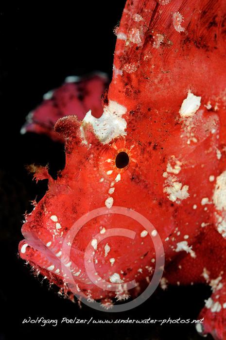Taenianotus triacanthus, Roter Schaukelfisch, red or pink leaf fish, Bali, Indonesien, Indopazifik, Bali, Indonesia Asien, Indo-Pacific Ocean, Asia