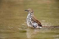 582000059 a wild long-billed thrasher toxostoma longirostre bathes in a small pond on dos venadas ranch rio grande valley texas