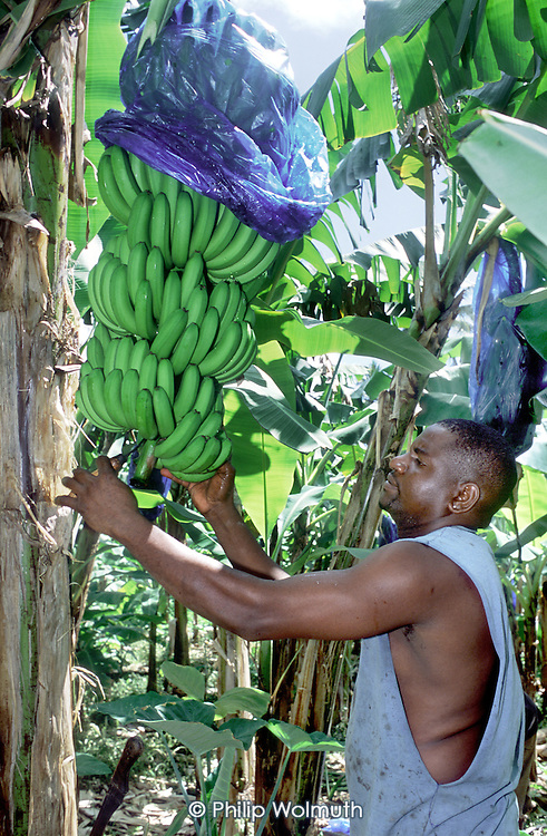 Curtis Scotland cuts bananas on his smallholding in Castle Bruce, for shipment to the UK. Some are sold under the Fairtrade scheme..