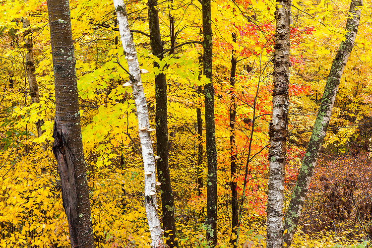 Maple and birch trees in Fall color; Northern Highland-American Legion State Forest. Oneida County, WI