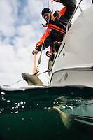 Mann klepper torsk fra båt. ---- Man landing cod.