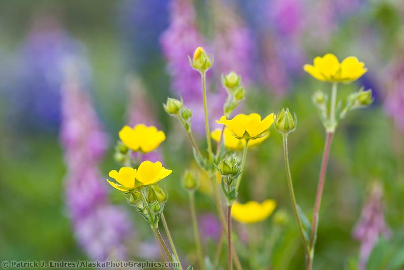 Wildflowers along the Richardson highway, interior, Alaska