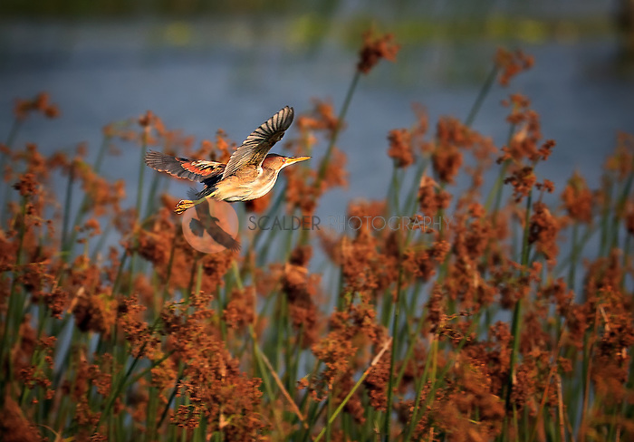Male Least Bittern in flight in golden evening light in breeding colors