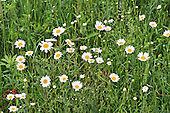 A patch of daisies growing in a hay field